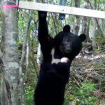 青森県内クマ生息域が拡大か、八甲田などにも生息域が広がっている