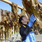 青森県外ケ浜町「三厩若生コンブ」守れ 漁師高齢化で担い手なく