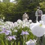 青森県弘前市「藤田記念庭園」「ハナショウブ」優雅に揺れて見ごろ