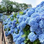 青森県八戸市の館鼻公園「涼しげアジサイ」見ごろ 7月半ばまで!