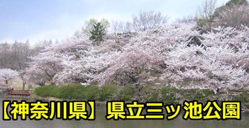 【神奈川県】県立三ツ池公園でお花見を楽しもう!桜の開花予想と状況は?