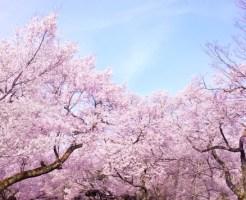 東京の花見の開花&満開予想2017年版!代々木公園や八王子は?