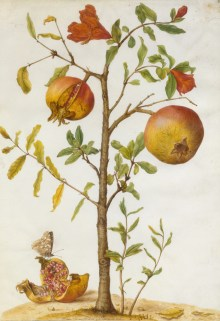 Maria Sibylla Merian, Maria Sibylla Merian (1647–1717), Granatapfelbäumchen, ca. 1665–1685, Deckfarben auf Pergament,Art On Screen - News - [AOS] Magazine