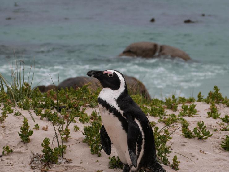 Roteiro-Cidade-do-Cabo-4-a-7-dias-simons-town-pinguim Roteiro Cidade do Cabo 4 a 7 dias (Sensacional)!