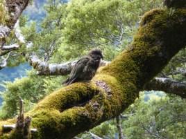 Perroquet endémique-6