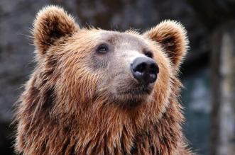 Glacier National Park Brown Bear