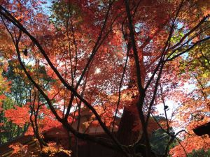 11月紅葉