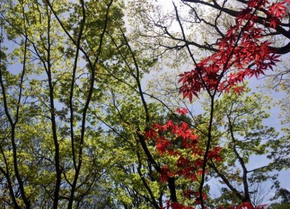 茶室の楓の新緑
