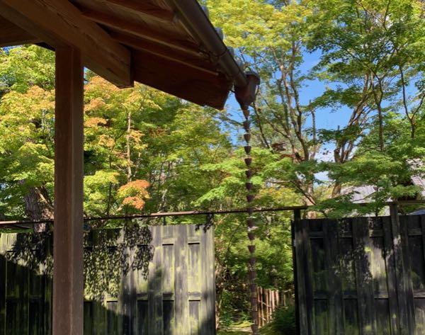 庭のカエデはもう薄紅葉です