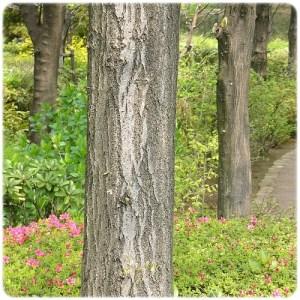 コナラの樹皮