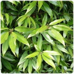 シラカシの葉