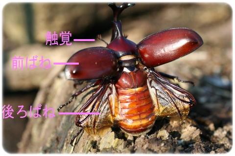 鳴き声 カブトムシ 交尾