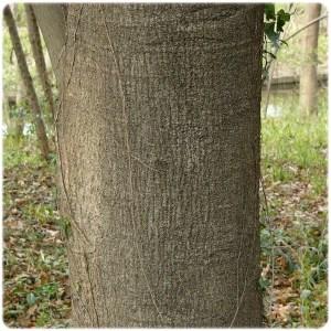 シラカシの樹皮
