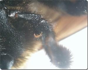 ヒラズゲンセイ幼虫