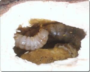 ヒラズゲンセイ幼虫2