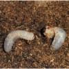 カブトムシの幼虫が土(マット)の上に出てくる理由
