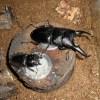 スマトラオオヒラタとパラワンオオヒラタを個別飼育へ