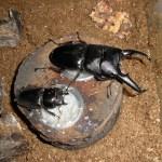 パラワンオオヒラタクワガタの飼育、産卵セットでの同居