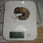 カブトムシの幼虫、気になる11月の体重は?