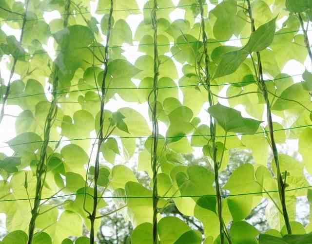 グリーンカーテンを作る時のおすすめ植物は?育てやすい8選