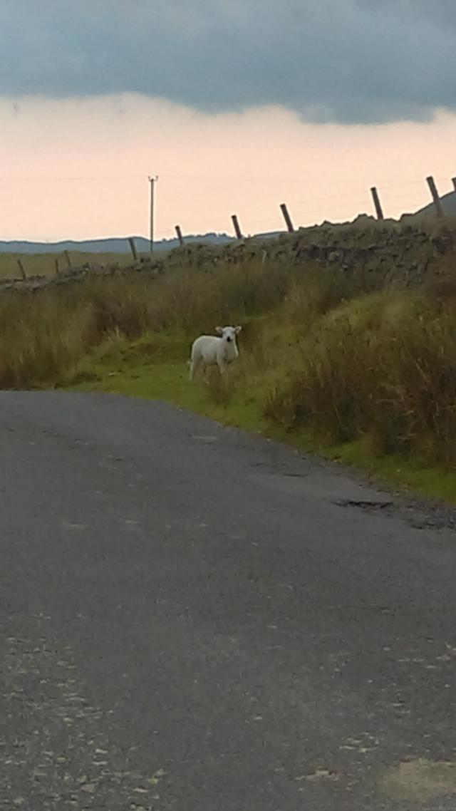 Meeting the local sheep down a small lane in the Yorkshire Dales