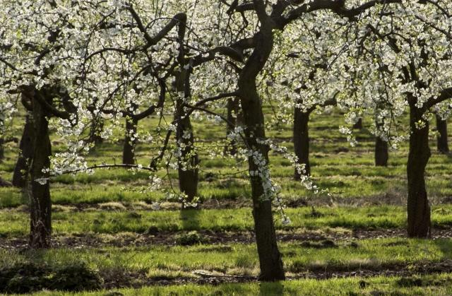 Blossom Trail in England's Vale Of Evesham = Apple Orchard