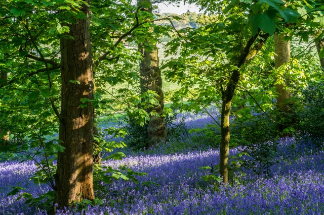 Bluebells at Lickey Hill Country Park, Birmingham UK