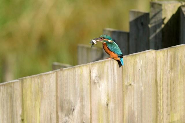 Prettiest Villages In Devon - Kingfisher at Seaton Wetlands