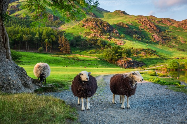 Sheep, Lake District Facts, Lake District National Park, England, United Kingdom