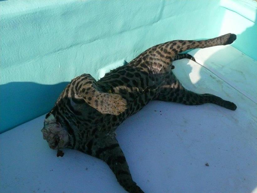 APAMO Issues statement on Jaguar Killings