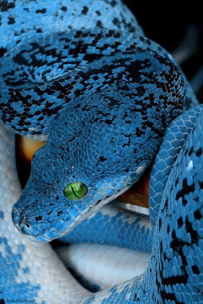 Blue Bellied Black Snake