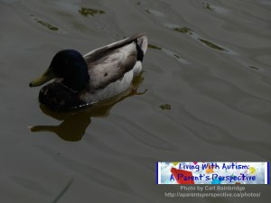 Reflective Duck On Water 1