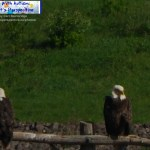 Two Eagles On A Pole