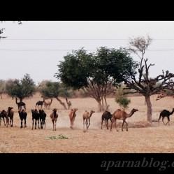 Camel herd on highway!