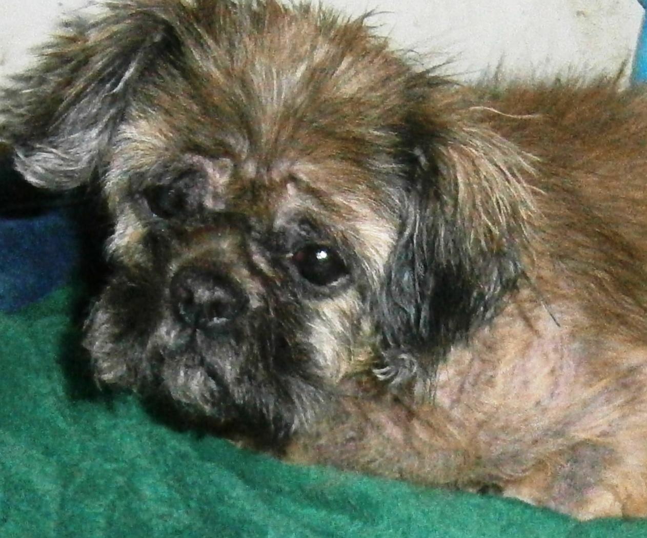 Dog Fibroma Peripheral Odontogenic