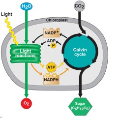 Diagram With Inputs And Outputs Of Photosynthesis Process 2008 F350 Trailer Plug Wiring Light Dependent Reaction