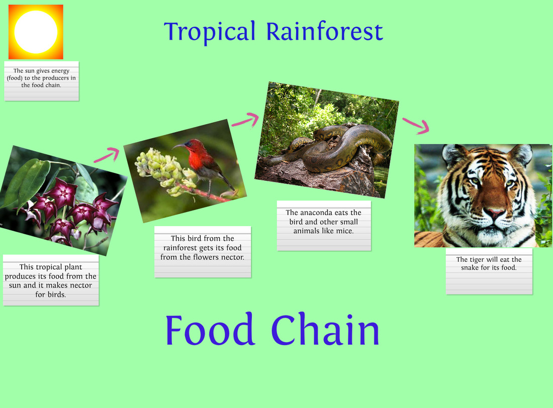 Tropical Rainforest Example Of A Food Chain In The