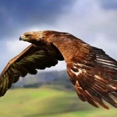 The Golden Eagle, King of the Raptors
