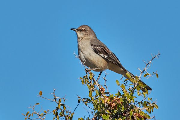 Northern Mockingbird, Courtesy of Tom Mangelsdorf
