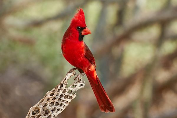 Northern Cardinal, Courtesy of Tom Mangelsdorf