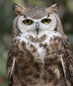 """Great Horned Owl"" by Dennis Liddell"
