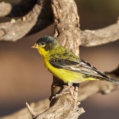 Desert Gold – Finches That Is