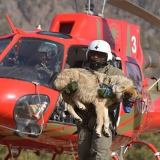 AZ Game & Fish: Wolf Air Ops Begin Jan. 22nd
