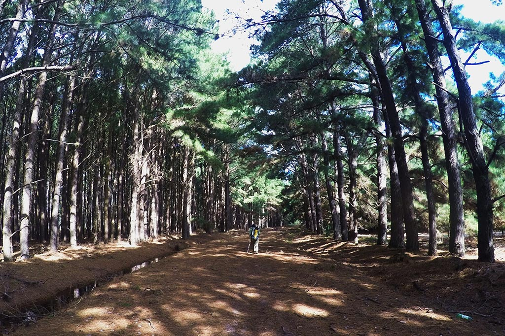 floresta pinus trekking pontal tapes