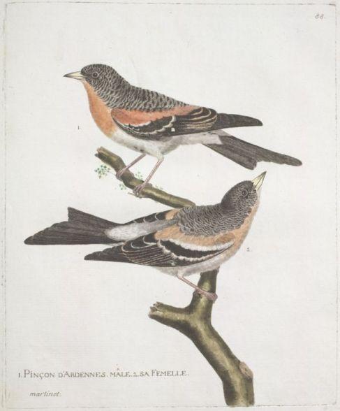 Gravure_ancienne_oiseau_par_Martinet_-_pinson_des_Ardennes_male_et_femelle