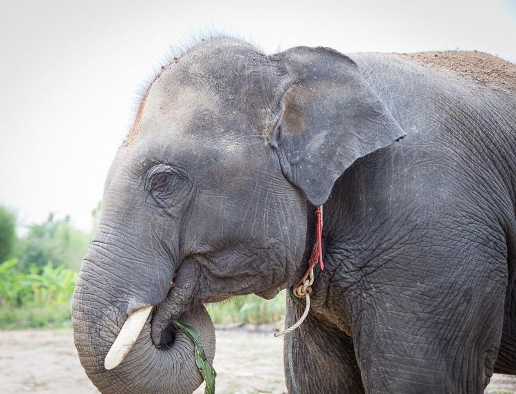 elephant eating thailand
