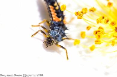 Harlequin Ladybird Larva 2