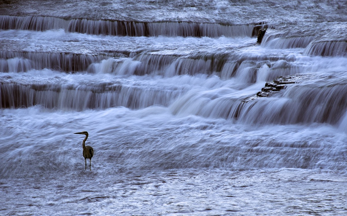 Heron posing by the waterfalls!