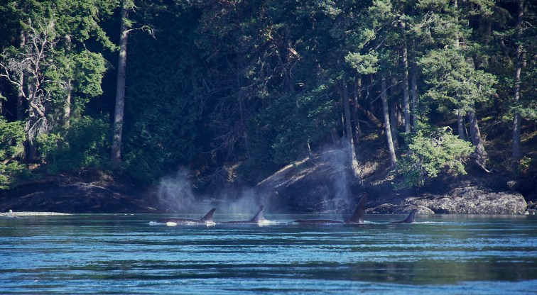 First pod of Orcas!