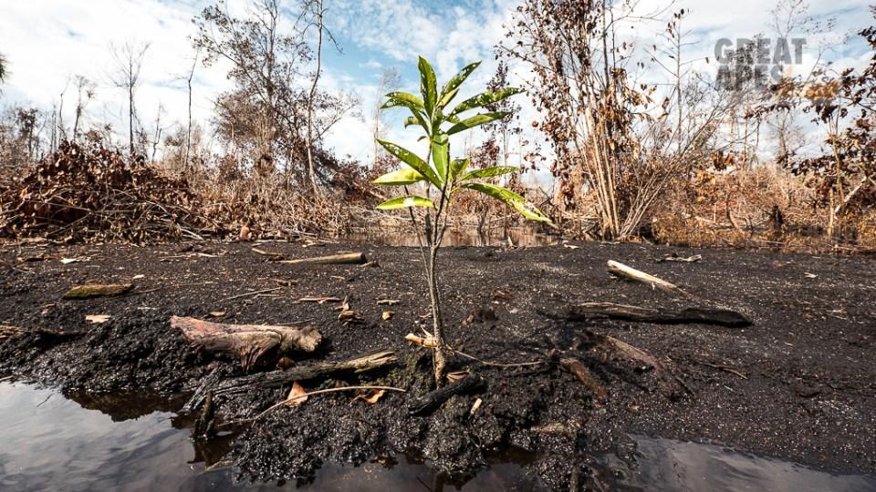 mangrove seedling in fire deforestation